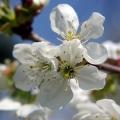 I jeszcze więcej kwiatów jabłoni!