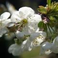 I znowu kwiat jabłoni...