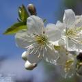 Jabłoniowe kwiecie ponownie!