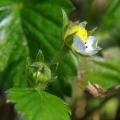 Jeszcze jeden kwiat poziomki