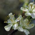 Kwiaty śliwy