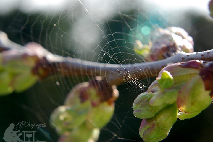 Pierwsza wiosenna pajęczyna