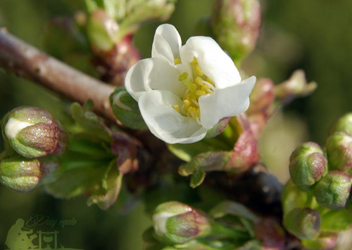 Sakura - kwiat wiśni