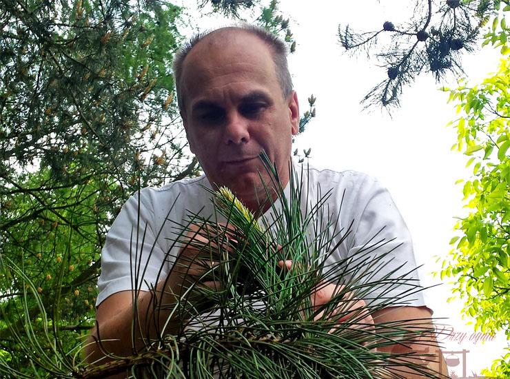 Zbieranie tegorocznych pędów sosny